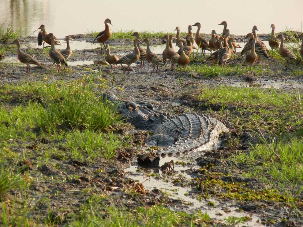 Крокодил на охоте