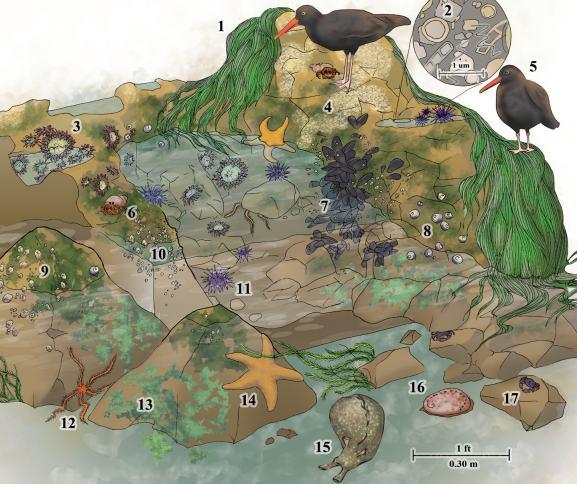 Обитатели каменистого берега