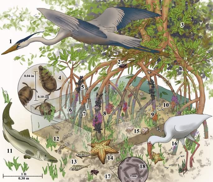 Сообщество мангровых лесов