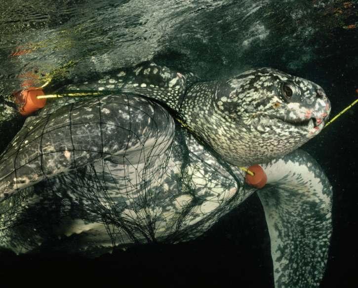 Черепаха в сетях