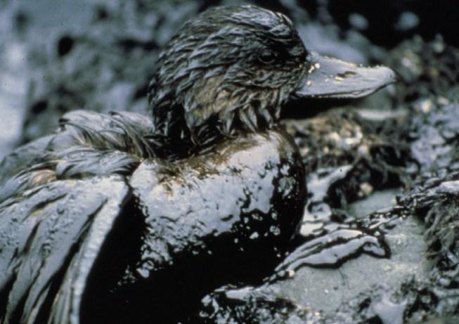 Птицы - жертвы нефтяных разливов