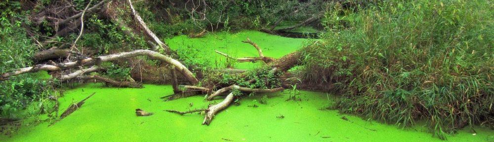 Зеленая ряска