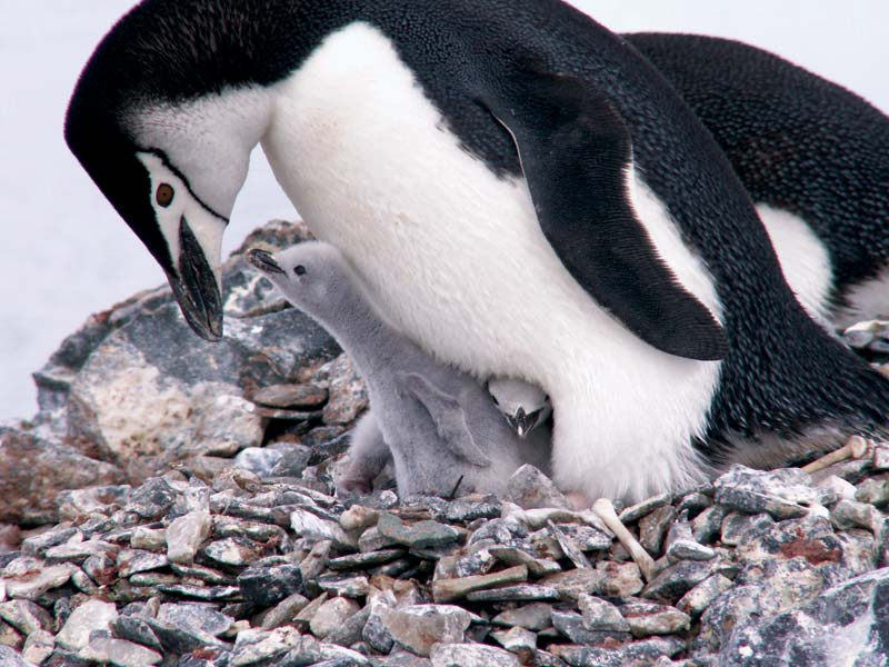 Chinstrap-penguin