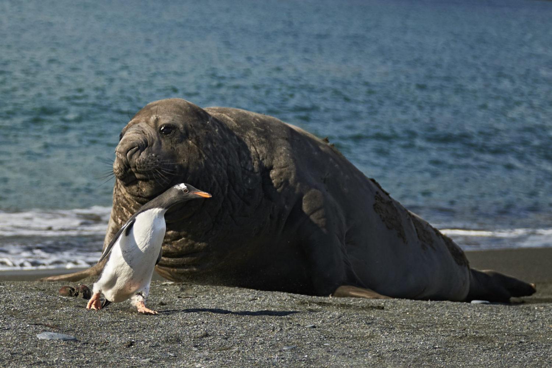 Elephant Seal3