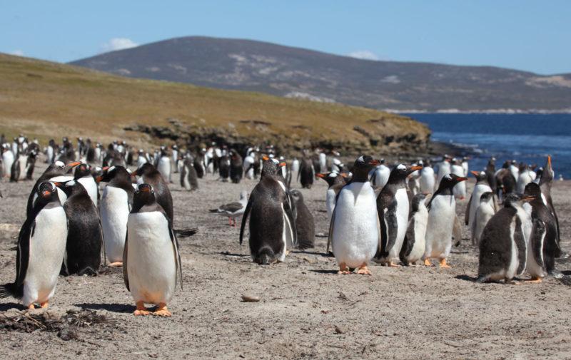 Gentoo-penguin