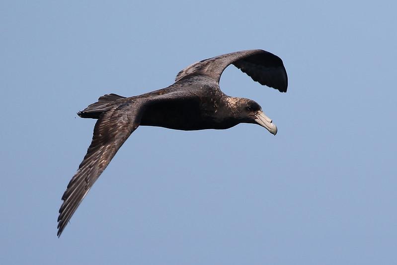Южный гигантский Буревестник - птица южных океанов.