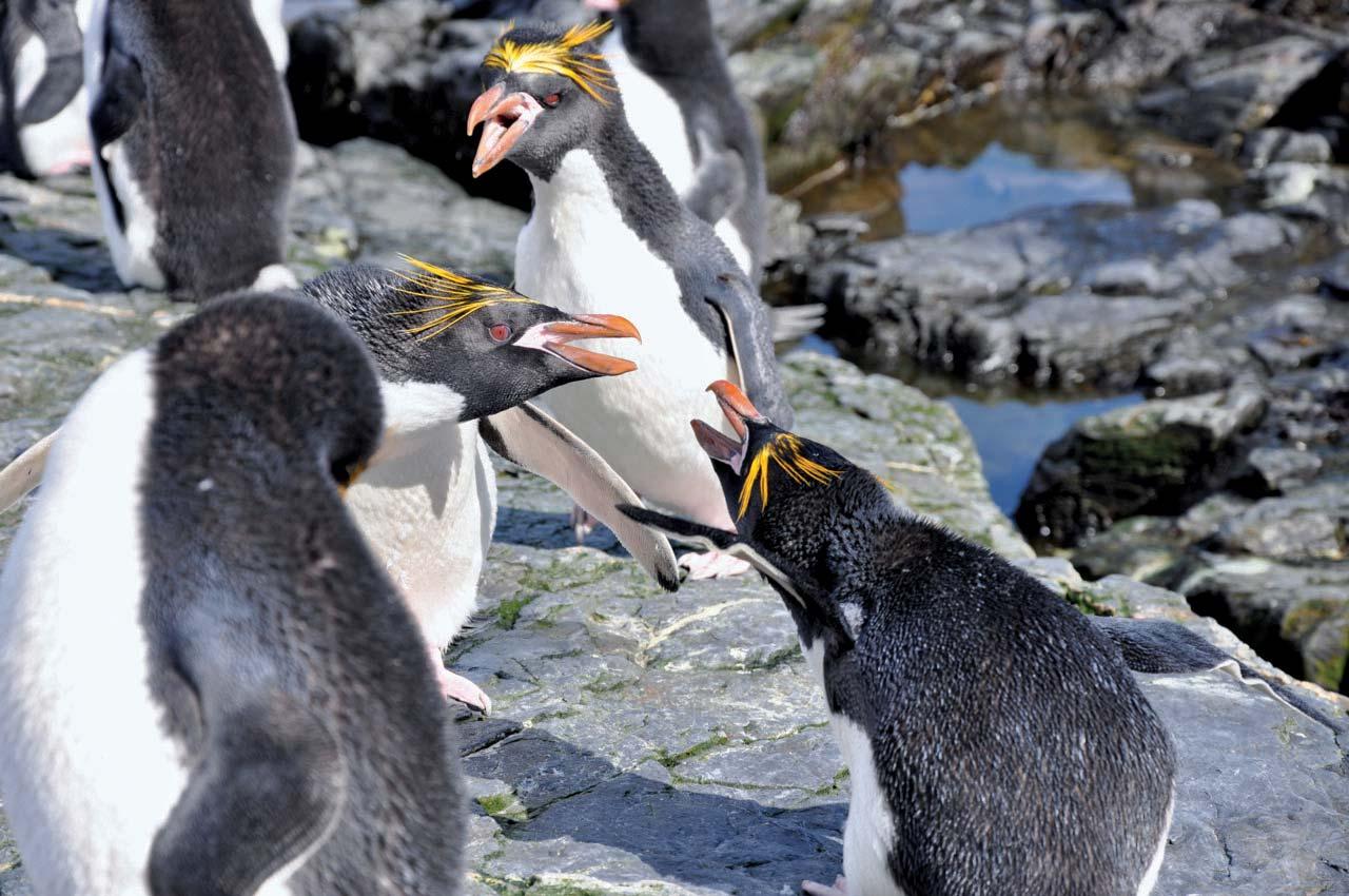 Macaroni-penguins