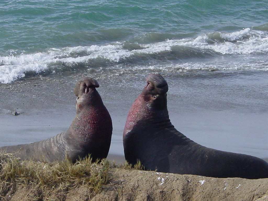 Elephant Seals2