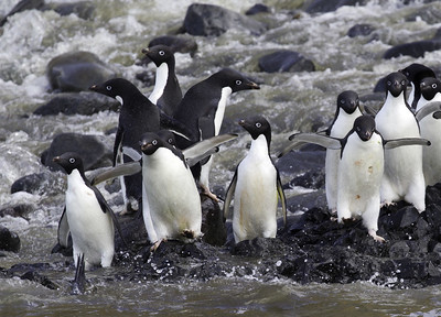 Пингвины Адели у кромки воды
