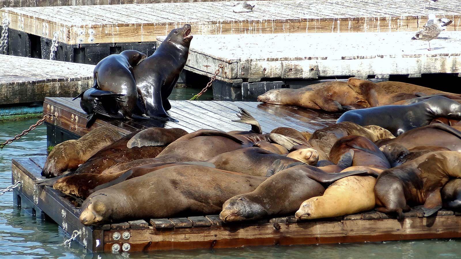 Sea-lions2