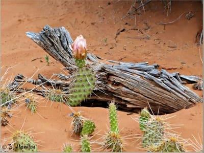 Цветы кактусов